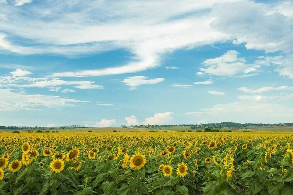 fields of sunflowers at Toowoomba Qld
